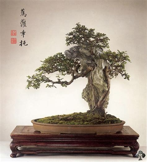 Care guide for the Chinese elm Bonsai tree (Ulmus