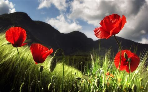 Red Poppies Spring HD Wallpaper