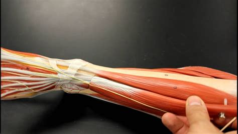 MUSCULAR SYSTEM ANATOMY: Anterior leg muscles model