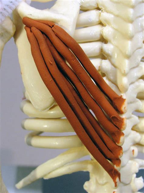 Trapezius, Lower | Feets of Clay